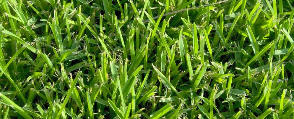 בופאלו ננסי – St. Augustine grass