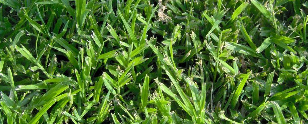 דרבן – Durban grass